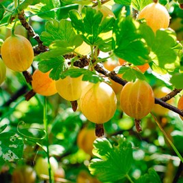 Gooseberry Plants - Hinnonmaki Yellow