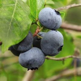 Blueberry (Vaccinium) Brigitta