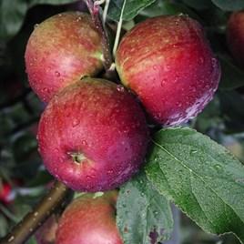 Apple (Malus) Core Blimey (M26) 12L Pot x 1