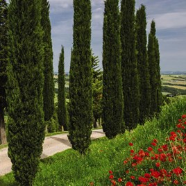 Cupressus Sempervirens Italian Cypress Stricta