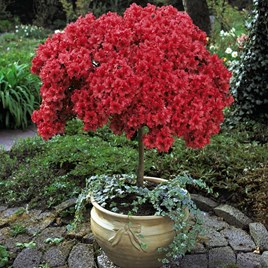Azalea Standard Japanese Red