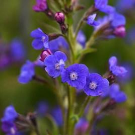 Anchusa Azurea Dropmore Plant