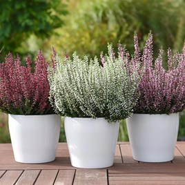 Calluna vulgaris Trio-Girls