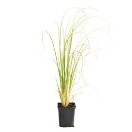 Cortaderia selloana White 1 Litre Pot x 1