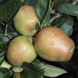 Apple (Malus) Adams Pearmain (MM106) 12L Pot x 1
