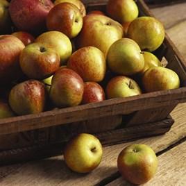 Apple (Malus) Cox Orange (Self Fertile) (MM106) 12L Pot x 1