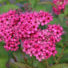 Solanum Jasminoides Album 3 Litre Pot x 1