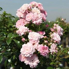 Rose The Fairy Standard 7 Litre Pot x 1