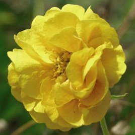 Geum Plants -  Sunrise