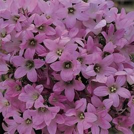 Campanula lactifolia Dwarf Pink 1 Litre Pot x 1
