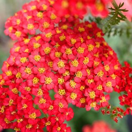 Achillea Millefolium Paprika Plant