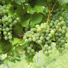 Grape (Vitis) Phoenix Vine