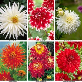 Dahlia Collection - 2 each of 6 varieties (12)
