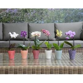 Miniature 6cm Orchid