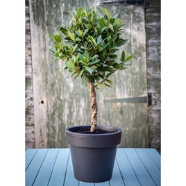 Bay Double Twisted Stem Tree