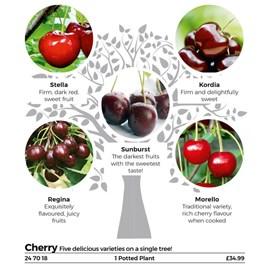 Family Fruit Tree - Cherry