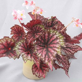 Begonia Star Bright