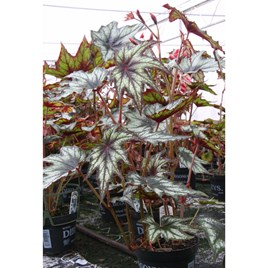 Begonia Plant - Little Brother Montgomery