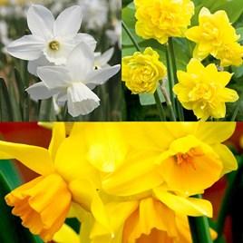 Daffodil (Cornish) Miniature Bulbs - Collection