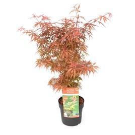 Acer Palmatum Jerre Schwartz