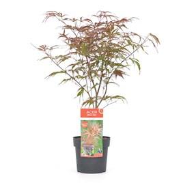 Acer Palmatum Plant - Peve Dave