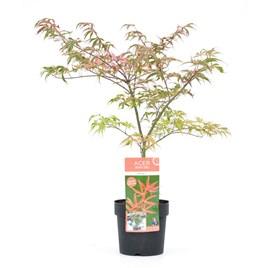 Acer Palmatum - Shirazz