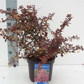 Berberis Plant - Rose Glow