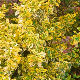 Euonymus Plant - Emerald 'n' Gold