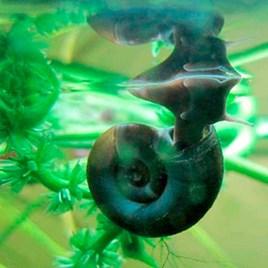 Ramshorn Snails
