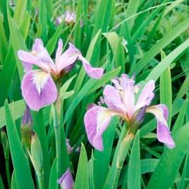 Iris Plants - Versicolour