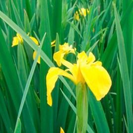 Iris pseudacorus Plants