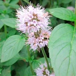 Mentha aquatica Plant