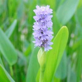 Pontederia cordata Plant