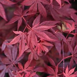 Acer Palmatum Atropurpureum Plant
