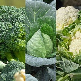 Early Brassica Collection (18)