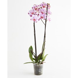 Orchid Plant - Phalaenopsis Rose Magic Art