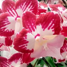 Orchid Plant - Phaleonopsis Tinkerbell