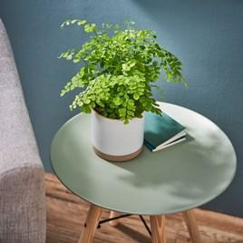 Houseplant Adiantum raddi , Fragrans