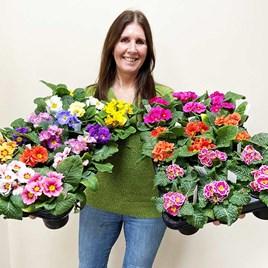 Primula Mix Plants (36)