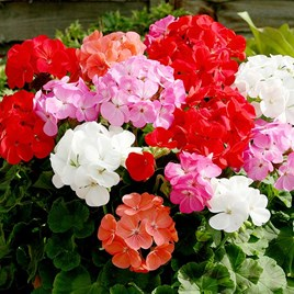Geranium Upright Mix Our Selection (20)