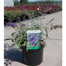 Buddleja Plant - Adonis Blue