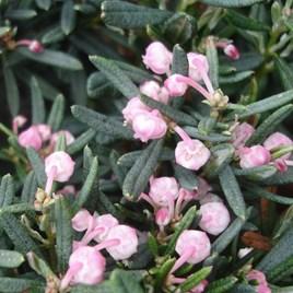 Andromeda polifolia Plant