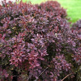 Berberis thunb. Plant - Dart's Red Lady