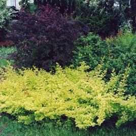 Berberis Thunbergii Plant - Golden Carpet®