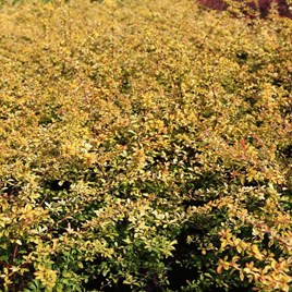Berberis Thunb. Golden Dream