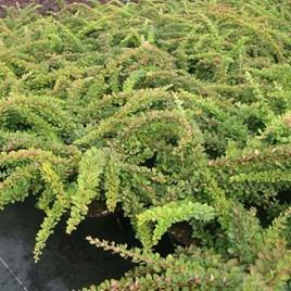 Berberis Thunbergii Plant - Green Carpet
