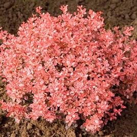 Berberis thunbergii Plant - Inspriation