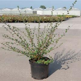 Betula nana Plant