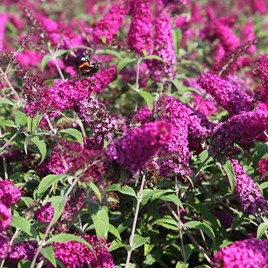 Buddleja davidii Plant - Miss Ruby®