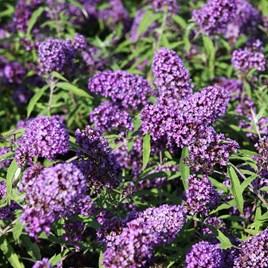 Buddleja davidii Plant - Purple Emperor